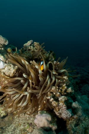 amphiprion bicinctus: Anemonefish  Amphiprion bicinctus  Stock Photo