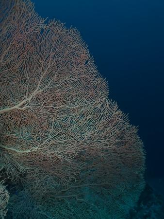 Gorgonion coral Stock Photo - 14060252