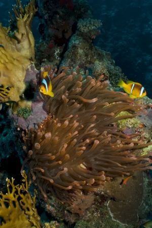 Magnificent red anemone with anemonefish photo