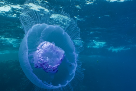 Moon jelly fish  Aurelia aurita   Taken at Red Sea