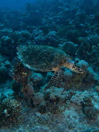 Hawksbill turtle  Eretmochelys imbricata  photo