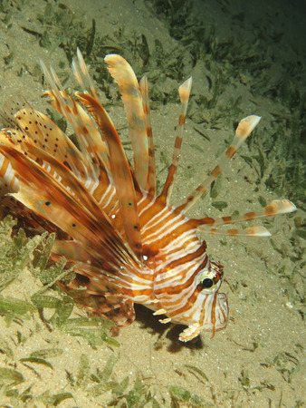 common lionfish: Common lionfish  pterois miles