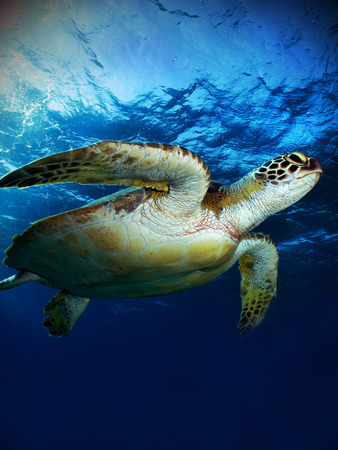 chelonia: Green sea turtle   Chelonia mydas