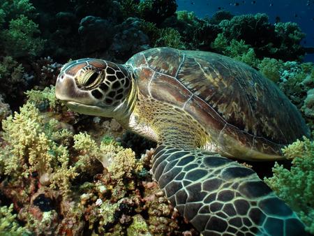 Mar verde Chelonia mydas tortuga