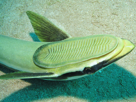 Sharksucker  Echeneis naucrates