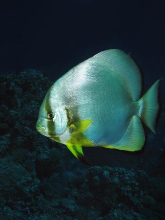 orbicular spadefish  platax orbicularis