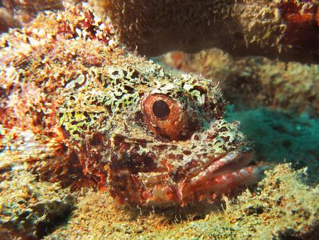 Smallscale scorpionfish  Scorpaenopsis oxycephala