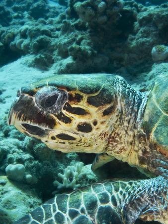 Hawksbill turtle  Eretmochelys imbricata  Stock Photo