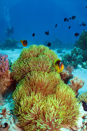 amphiprion: Magnificent Anemone with Red Sea Anemonefish  amphiprion bicinctus  Stock Photo