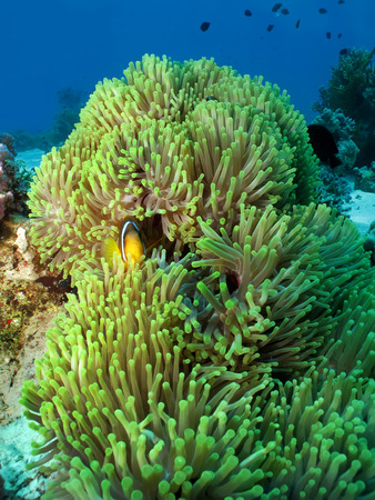 Magnificent Anemone with Red Sea Anemonefish  amphiprion bicinctus  Stock Photo