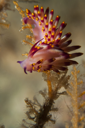 Nudibranch Flabellina Flabellina Stock Photo