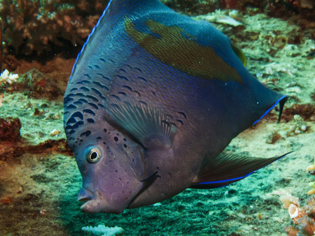 Yellowbar Angelfish  Pomacanthus maculosus  Stock Photo