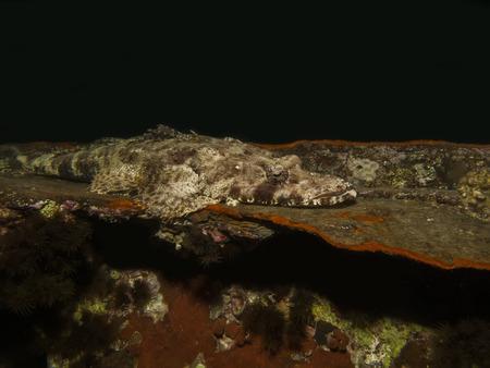 Indian ocean crocodilefish  papilloculiceps longiceps  Stock Photo