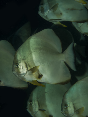 Orbicular spadefish  platax orbicularis  Stock Photo
