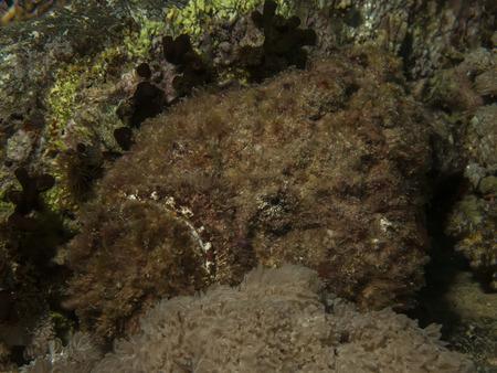 Stonefish   Synanceia verrucosa  Stock Photo