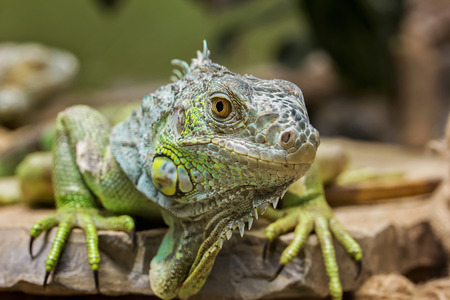 Closeup Portrait Of A Green Iguana  Iguana iguana