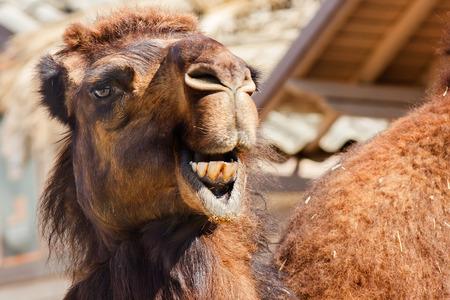 Arabian camel or Dromedary  Camelus dromedarius