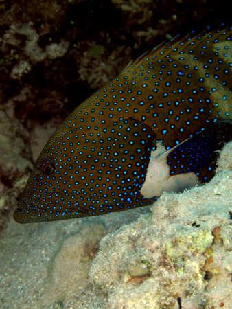 Peacock grouper (cephalopholis argus), Red Sea, Egypt