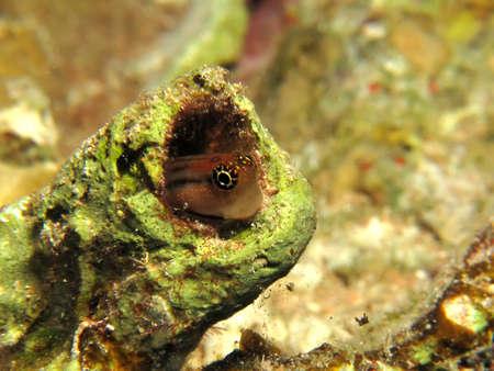 Red Sea combtooth blenny. (Ecsenius dentex) Stock Photo