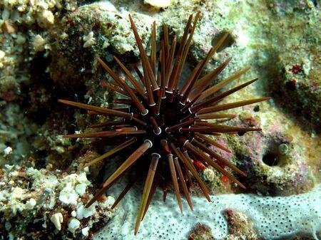 Rock boring urchin (Ehinometra cf mathaei) Taking in Red Sea, Egypt.