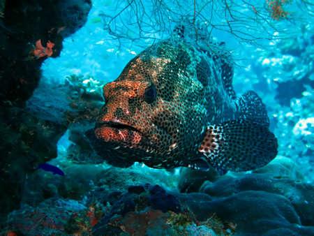 Marble Grouper (Epinephelus microdon). Taking in Red Sea, Egypt.