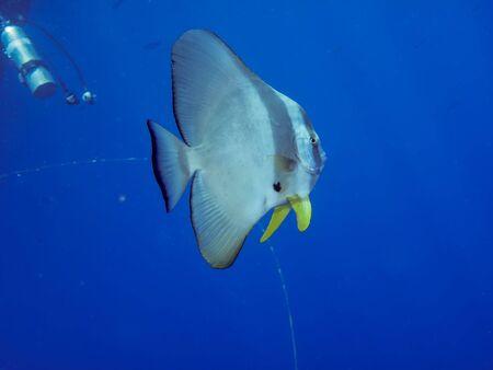 Orbicular spadefish (platax orbicularis). Taken in Red Sea, Egypt. Stock Photo