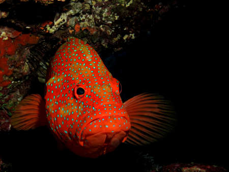 Coral Hind Grouper (cephalopholis miniata) Stock Photo