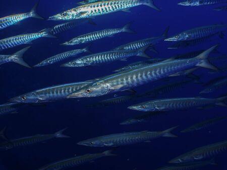 Great barracuda (Sphyraena barracuda). Taking in Red Sea, Egypt. Stock Photo