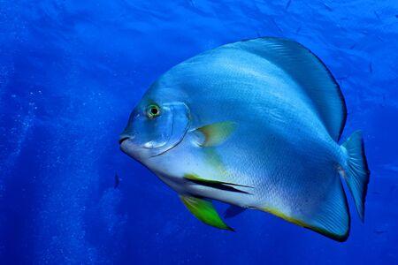 Orbicular spadefish (platax orbicularis). Taken in Red Sea, Egypt.