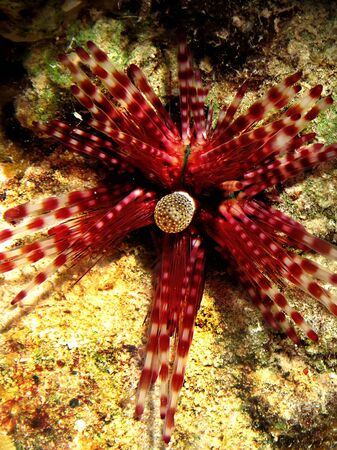 Banded Urchin Echinotrix calamaris Taking in Red Sea, Egypt