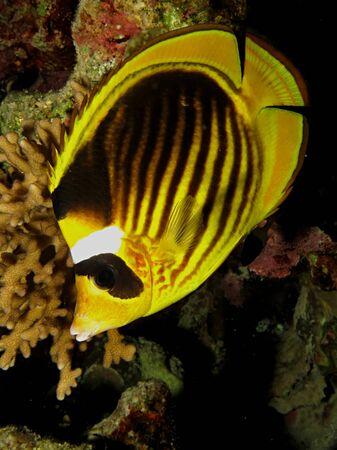 Red Sea Raccoon Butterflyfish (Chaetodon fasciatus) Stock Photo