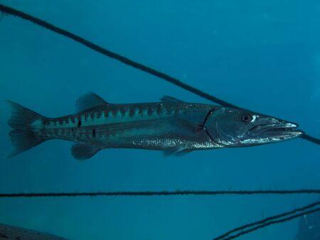 Great barracuda (Sphyraena barracuda) Stock Photo