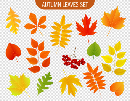 chokeberry: Set of colorful autumn leaves. Vector illustration.