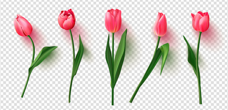 Realistic vector tulips set on transparent background.Vector illustration