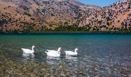White geese floating in the clear water of a mountain lake Stock Photo