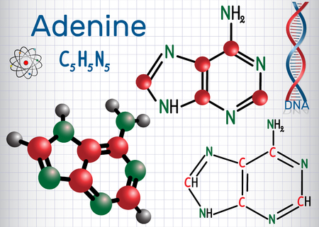 Adenine (A, Ade) - purine nucleobase, fundamental unit of the genetic code in DNA and RNA. Structural chemical formula and molecule model. Sheet of paper in a cage. Vector illustration.
