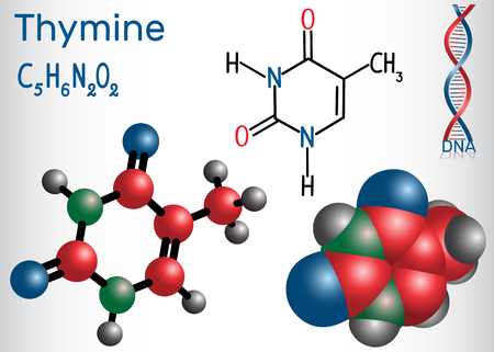 Thymine (Thy) - pyrimidine  nucleobase, fundamental unit of the genetic code in DNA and RNA. Structural chemical formula and molecule model. Vector illustration  Vettoriali