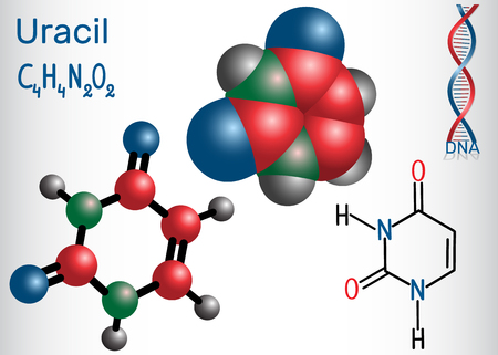 Uracil (U) - pyrimidine nucleobase in the nucleic acid of RNA. Structural chemical formula and molecule model. Vector illustration.  イラスト・ベクター素材