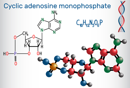Cyclic adenosine monophosphate (cAMP) molecule, it is a derivative of adenosine triphosphate (ATP) and used for intracellular signal transduction. Structural chemical formula and molecule model. Vector illustration.