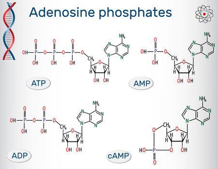 Chemical structural formulas Adenosine phosphates nucleotides: adenosine monophosphate (AMP, adenosine diphosphate (ADP), adenosine triphosphate (ATP), cyclic adenosine monophosphate (cAMP). Building blocks of nucleic acids. Vector illustration.
