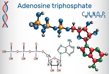 Adenosine triphosphate (ATP) molecule, is intracellular energy transfer and required in the synthesis of RNA. Structural chemical formula and molecule model. Vector illustration.