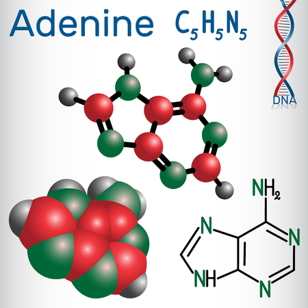 Adenine (A, Ade) - purine nucleobase, fundamental unit of the genetic code in DNA and RNA. Structural chemical formula and molecule model. Vector illustration