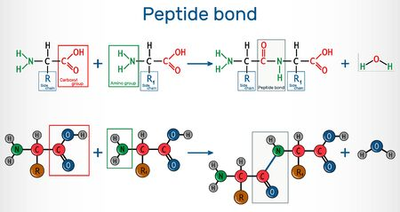 Peptide bond. Formation of amide bonds from two amino acids as a result of protein biosynthesis reaction. It is process is a dehydration synthesis reaction. Vector illustration