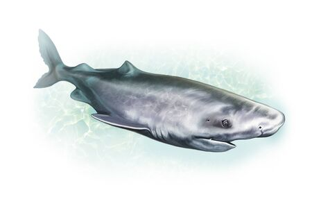 Greenland shark (Somniosus microcephalus), realistic , illustration for the encyclopedia of animals of the seas and oceans, isolated character on a white background Archivio Fotografico