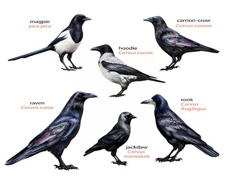 family of corvids, set: raven, rook, magpie, black crow, gray crow and jackdaw, realistic drawing, illustration for encyclopedia of birds, isolated image on white background