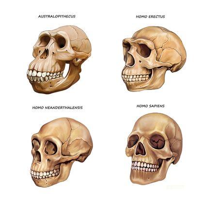 human skull evolution: Australopithecus, Homo erectus, Neanderthal and Homo sapiens, illustration drawing for encyclopedia, realistic image isolated on white background
