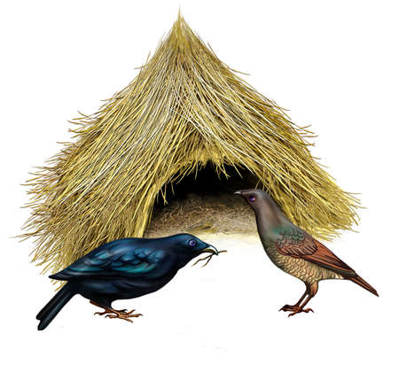 Bowerbirds (Ptilonorhynchidae) near the nest, mating games near the hut, house, realistic drawing for the encyclopedia of animals of Australia, isolated image on a white background