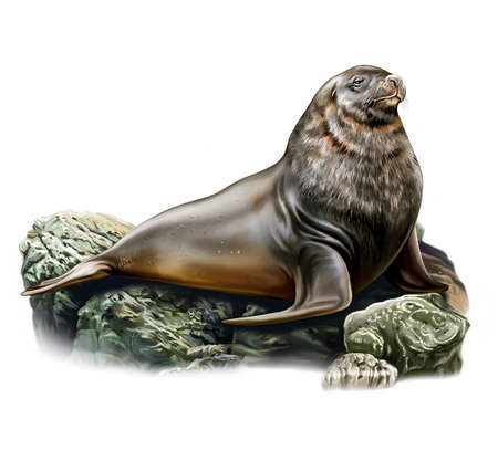The New Zealand sea lion (Phocarctos hookeri) lies on stones, realistic drawing, illustration for the New Zealand animal encyclopedia, isolated image on a white background