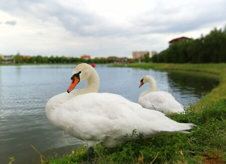two white swans on the shore of the pond 写真素材