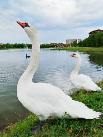 two white swans on the lake